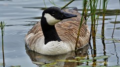 Lonely canada goose (marski95) Tags: canadagoose waterbird lake lonely finland