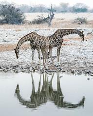 Giraffe reflection (Matt OZW) Tags: namibia etosha nationalpark giraffe