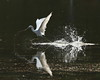 Walking on Water (ftherit) Tags: immature little blue heron reflection splash nature bird takeoff canon 1dx ii 600mm