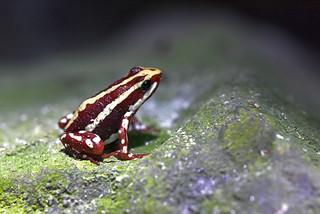 tropruga otrovna žaba (Epipedobates anthonyi / Anthony's Poison Arrow Frog / Dreistreifen-Blattsteiger)