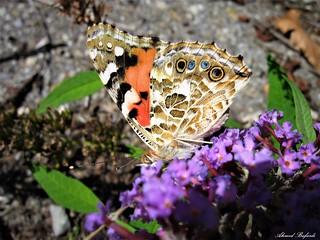 Butterfly 1445