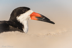Black Skimmer Portrait (Matt F.) Tags: blackskimmer portrait nature wildlife