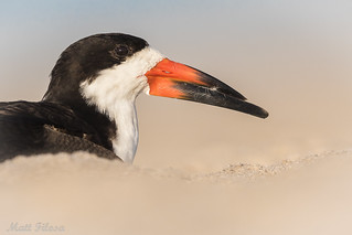 Black Skimmer Portrait