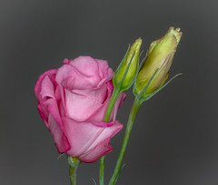 Pink Lisianthus (tresed47) Tags: 2017 201709sep 20170909chestercountymisc canon7d chestercounty content flowers folder home lisianthus pennsylvania peterscamera petersphotos places season september summer takenby us