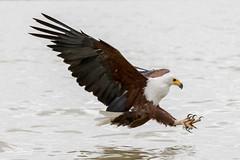 500_4038.jpg (Laurent LALLEMAND) Tags: accipitriformes baringo oiseaux kenya accipitridae continentsetpays haliaeetusvocifer afrique africa ke ken