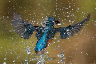 Kingfisher  -  Eisvogel