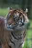 son altesse de Sumatra (danse2f) Tags: tigreblanc 2017 nikon septembre zoodecerza cerza 300mmf4pfafsvr zoo tigredesumatra photoaccess d500 albumdédié