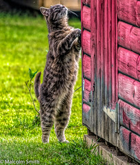 Cat Excercise (M C Smith) Tags: shed grey blue pink grass green pentax k3ii stretching exercise plant door