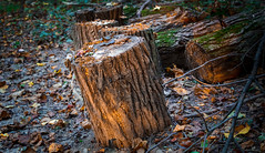 Lit Stump (NathanJNixon) Tags: wood autumn sunny natural landscape nature leaf canon fall ground red trees tree sunlight broken white night sunset peaceful fallen evening orange dead muddy leaves green log clutter dark photography mud forest lines stump yellow setting sun princeton grass new jersey usa us america set calm laid travel