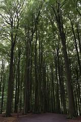 Buchenwald (meine.augenblicke) Tags: deutschland nature germany wald natur forrest trees rügen 2017 ostsee buchenwald jasmund urlaub mecklenburgvorpommern island balticsea buchen bäume beeches insel kameranikond750 sassnitz de