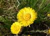 Huflattich (Maritime Fotografie) Tags: blume staude wildblume wiesenblume flora norddeutschland pflanze sommerblume natur nature biotop bio flower gemeine martin tolle gelbe wiese makro baum garten holz gras huflattich tussilago farfara