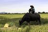 Taking a break (Hubert Streng) Tags: buffalo rice vietnam smoking pause break