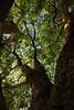 Platane (02) (Rüdiger Stehn) Tags: silberbaumartige proteales platanengewächse platanaceae platanen platanus ahornblättrigeplatane platanus×hispanica baum platanennuss nüsse früchte pflanze stadt kielblücherplatz 2000er 2000s 2017 europa mitteleuropa norddeutschland deutschland schleswigholstein canoneos550d kiel rüdigerstehn