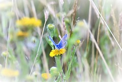 Blue in the meadow. (pstone646) Tags: butterfly insect blue nature flowers plants wildlife wildflowers bokeh softfocus animal fauna flora