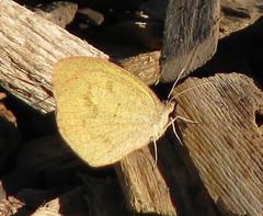 Barred Yellow (Eurema daira) - winter form (Vicki's Nature) Tags: barredyellow small sulphur butterfly winterform yellow sandy grainy november callawaygardens georgia vickisnature canon s5 1049