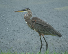 Braving Emily's Rains (AngelaC2009***) Tags: 2017 july summer florida riverview pond weather tropicalstormemily backyard backyardwildlife bird greatblueheron ardeaherodias canoneosdigitalrebelxt