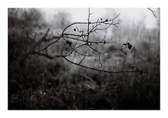 15. (kotmariusz) Tags: branches monochrome monochrom analog blackandwhite autumn jesień gałąź poland polska ilfordpan400 olympusom40
