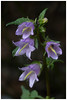 Campanule gantelée (pierrelacour95) Tags: campanule campanulatrachelium campanulegantelée