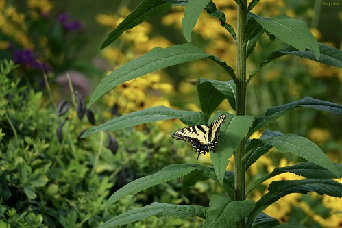"Eastern Tiger Swallowtail • <a style=""font-size:0.8em;"" href=""http://www.flickr.com/photos/52364684@N03/35841551324/"" target=""_blank"">View on Flickr</a>"