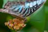 Lorquin's Admiral (Limenitis Lorquini) Butterfly (Classicpixel (Eric Galton) Photography Portfolio) Tags: lorquinsadmiral limenitislorquini butterfly insect papillon chenille caterpillar leaf leaves feuille nikon d100 ericgalton classicpixel carletonuniversity butterflyshow wing ailes macro tropical tropiques