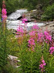 Noruega (Ana De Haro) Tags: flores rosas agua noruega norway naturaleza paisaje lobster río