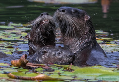 Northern River Otter -The family portrait. Say cheese... (bbatley) Tags:
