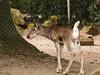 Rendier (ericderedelijkheid) Tags: ouwehandsdierenpark rhenen dierentuin zoo netherlands