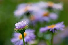 Erigeron (mclcbooks) Tags: flower flowers floral macro closeup daisy daisies erigeron denverbotanicgardens colorado summer