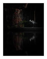 The Hunter (Vemsteroo) Tags: heron urban wildlife birmingham canal gasstreetbasin sunrise morning dawn light reflection bird hunting fish industrial stilllife ornithology fuji fujifilm xt2 50140mm city