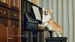 BQ0R1989 (Andrew Bee 1dx) Tags: corgi indoor piano american furniture playing dog