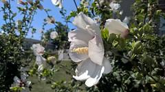 WP_20170901_13_47_54_Rich (PureView Life) Tags: nokia lumia 1520 nokialumia nokialumia1520 lumia1520 pureview carlzeiss wp wp81 windowsphone windowsphone81 flower flowers white whiteflower