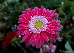 Chirk Beauty (Bob.W) Tags: chirkcastle nationaltrust gerbera ngc coth5 npc