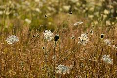 field trip (Port View) Tags: fujixe2 portwilliams novascotia canada 2017 summer field weeds grass wildflowers gold golden light evening backlight backlit layers dof depthoffield