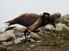 Lucky to See a Brant This Close Up (Kat Avila - Southern California) Tags: goose brant