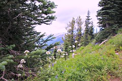 Mt. Rainier National Park (Bella Lisa) Tags: mountrainiernationalpark sourdoughmountains washington sunrisevisitorcenter degepeak mtrainier emmonsvista curlyeverlasting wildflowers wilderness nationalpark washingtonstate sunsetpoint hiking emmonsglacierevergreens pines pinetrees