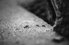 Ants (Ákos Fekete) Tags: ant ants smc smctakumar smctakumar50mmf14 vintage prime bokeh closeup blackwhite bw moody mood nature nopeople monochrome august summer summertime 2017 evening insects sony sonyalpha6000 alpha a6000 ilce6000 ilce mirrorless milc csc emount evil mbpictures beautifulcapture