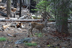 A doe and her fawn keep a wary eye on me (rozoneill) Tags: lassen volcanic national park chaos crags crag lake manzanita wilderness hiking california redding