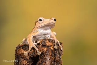 Borneo Eared Frog - That was a big climb D50_8174.jpg