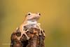 Borneo Eared Frog - That was a big climb D50_8174.jpg (Mobile Lynn) Tags: borneoearedfrog amphibian frog nature captive bonyheadedflyingfrog fauna fileearedtreefrog polypedatesotilophus wildlife bournemouth england unitedkingdom gb coth specanimal ngc coth5 sunrays5 npc