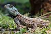 2016 10 15_Southern Tree Agama-1.jpg (Jonnersace) Tags: krugernationalpark lowersabie southerntreeagama reptile safari canon
