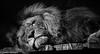 The lion sleeps toni... now! (Dave_G_Stewart) Tags: colchesterzoo bw canon eos5d mkiii canon100400 animal wildlife eyes gaze sad ponder camera grey captivity zoo essex dof catpacingspotspink