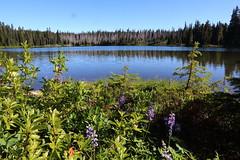 Lupine at Dumbell Lake (jlcummins - Washington State) Tags: backpack hike pct pacificnorthwest pacificcresttrail washingtonstate lewiscounty williamodouglaswilderness lake dumbell