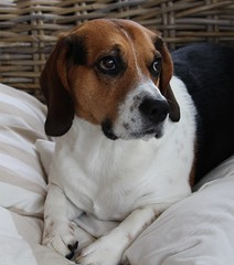 Lucky (LuckyMeyer) Tags: hund haustier beagle jagdhund dog white brown black friend