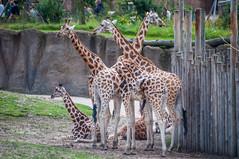 CR2017_0804_Wildlands_2821 (Corry Rovers) Tags: drente emmen wildlands gewervelden giraffe zoogdieren