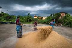 Minutes before the Rain   Chandanpur, Odisha (ayashok photography) Tags: ayp4794 thentapur rain monsoon odisha orissa india unitedcolorsofindia unitedcoloursofindia incredibleindia women working paddy grain rice ricemill farmer farming cwc chennaiweekendclickers chandanpur