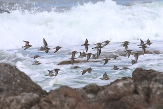 Wader mix against the surf