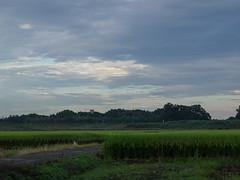 Twilight in rice fields (odeleapple) Tags: olympus e5 zuiko digital 50mm zd rice field paddy twilight