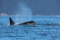 Blow (schoeband) Tags: orca killerwhale biggsorcas transientorcas rosariostrait orcasisland washington unitedstatesofamerica usa