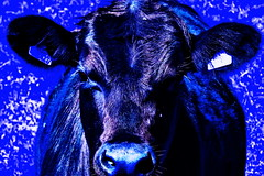 Blue Moo, I saw you standing alone. (Les Fisher) Tags: sliderssunday blue postprocessed