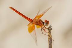 Hot (jrosvic) Tags: trithemiskirbyi dragonflies dragonfly odonata entomology anisoptera nikond7100 nikon60mm28dmicro kenkopro300x14 fuentecaputa yechar mula murcia spain freehand closeup macro nature orangewingeddropwing scarletrockglider kirbysdropwing